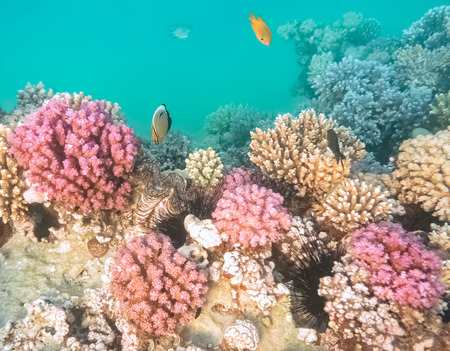 hard coral: Colorful coral reef with hard corals at the bottom of tropical sea on blue water background. Stock Photo