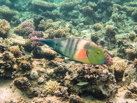 acanthurus: Parrot fish. Marine Life in the Red Sea. Egypt Stock Photo