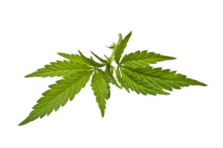 hoja marihuana: Tallo con hojas de marihuana Foto de archivo