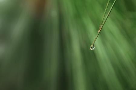 kropla deszczu: Raindrop on pine needle leaf