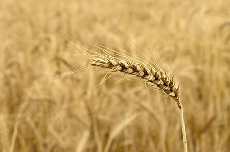 ripened: Ripened Wheat Spikelet