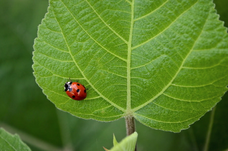 coccinellidae: Lady Bug Stock Photo