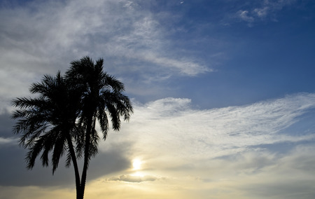 dactylifera: Date Palm in the sunset Stock Photo