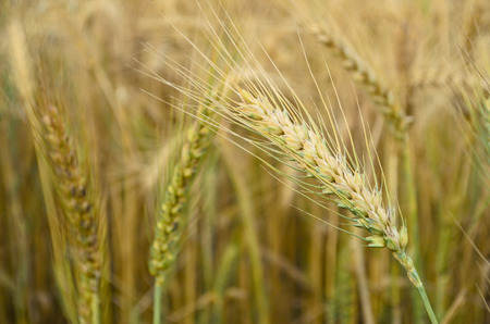spikelets: Golden Wheat Spikelets