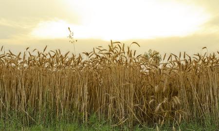 ripened: Ripened wheat field Stock Photo