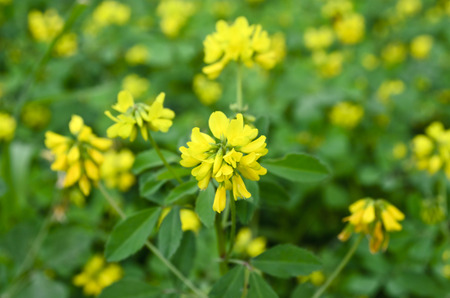 Fenugreek yellow flowers