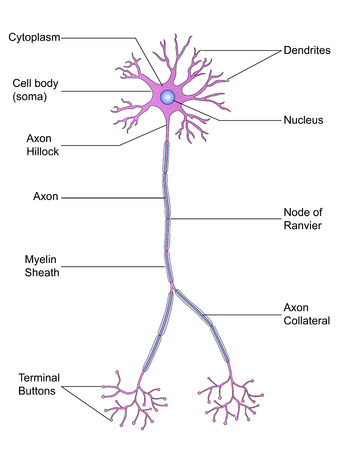 dendrites: Structure of Neuron