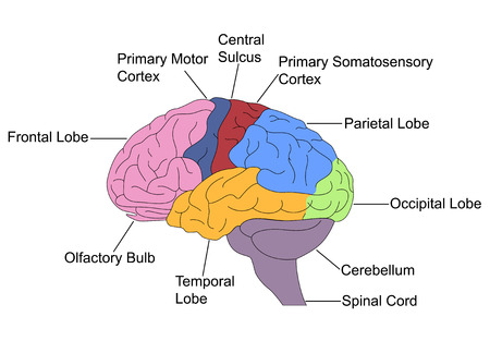olfactory: Parts of Brain Stock Photo