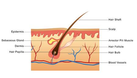 sebaceous: Structure of Hair follice