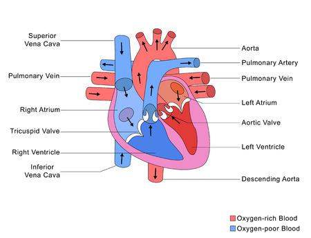 corazon humano: Estructura simplificada del Coraz�n Foto de archivo