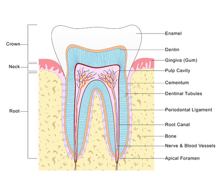 dentin: Anatomy of Tooth Stock Photo