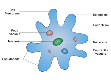ameba: Estructura de una ameba