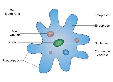 Structure of an Amoeba photo