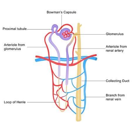 urinary: Structure of nephron