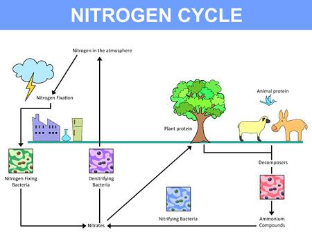 ammonium: Nitrogen cycle diagram