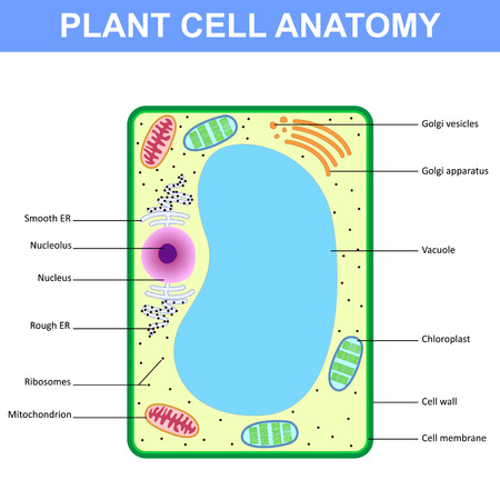 Structure Of A Plant Cell Stock Photo Picture And Royalty Free