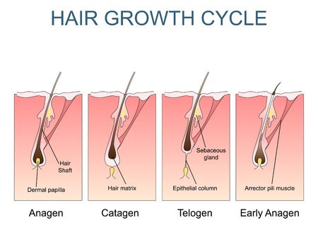 papilla: Hair growth cycle labelled illustration Stock Photo
