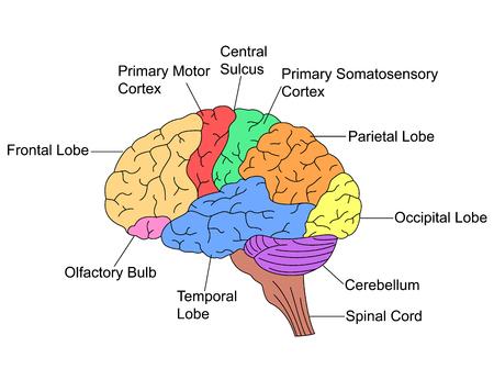 두뇌의 부분들