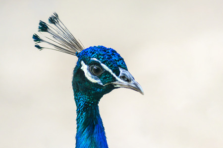 Indian male peacock head Stock Photo