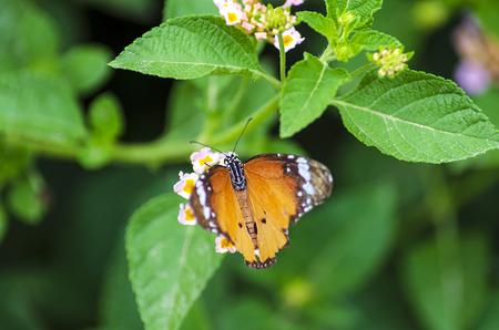 Monarch Butterfly on Lantana Camara Flower