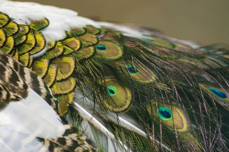Closeup of Indian peacock feathers Stock Photo
