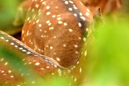 a white spotted deer is hiding and playing in the grassland with his friends