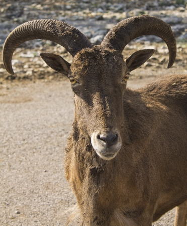 Small Goat Ram looking curiously  Stock Photo