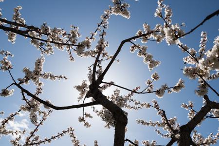 Blooming white sakura. Macro photo of beautiful flowers and sprigs of cherry wood. Imagens - 125423160