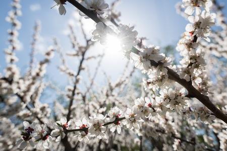 Blooming white sakura. Macro photo of beautiful flowers and sprigs of cherry wood. Imagens - 125423146
