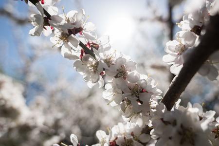 Blooming white sakura. Macro photo of beautiful flowers and sprigs of cherry wood. Imagens