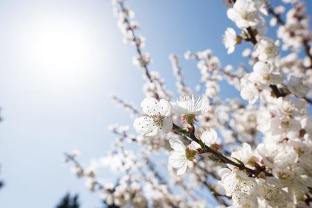 Blooming white sakura. Macro photo of beautiful flowers and sprigs of cherry wood. Imagens - 125423148