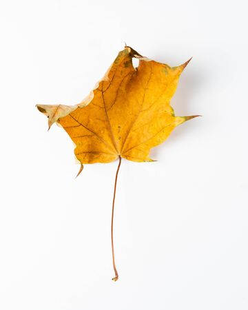 Colorful autumn leaves. Dry maple leaves on a white background Imagens - 133164315