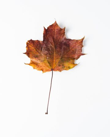 Colorful autumn leaves. Dry maple leaves on a white background Imagens