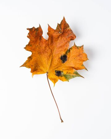 Colorful autumn leaves. Dry maple leaves on a white background. Imagens - 133164571