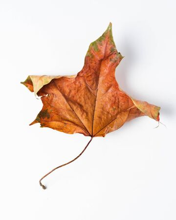 Colorful autumn leaves. Dry maple leaves on a white background. Imagens - 133165104