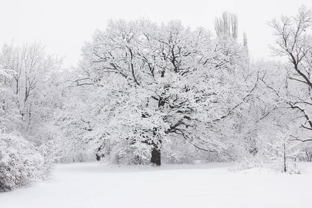 Forest trees are abundantly covered with fluffy snow in cloudy weather.