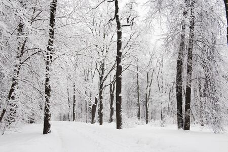 Forest trees are abundantly covered with fluffy snow in cloudy weather Imagens - 133272417