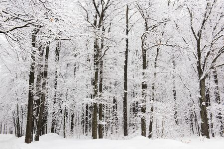 Forest trees are abundantly covered with fluffy snow in cloudy weather. Imagens - 133254498