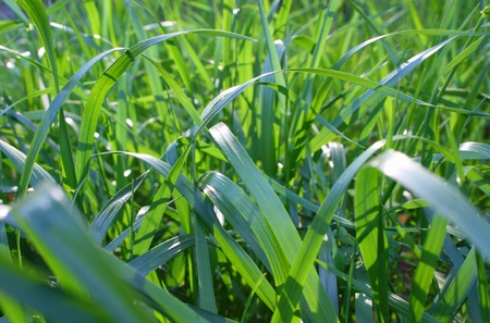 fescue: Background, close up shot of green grass blades.