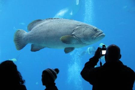 Large fish swimming in a tank at the Georgia Aquarium  Фото со стока