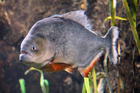 Close up of a Red piranha fish