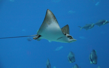 gills: Profile of a large sting ray swimming in an aquarium