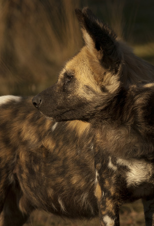 lycaon pictus: African Painted Dog  Lycaon pictus  Stock Photo
