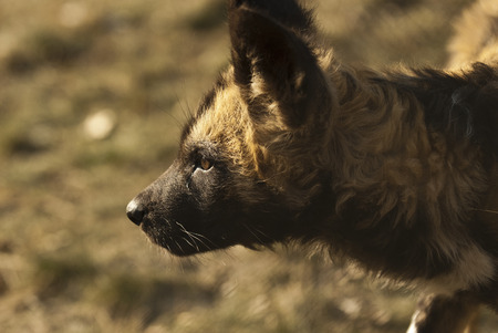 lycaon pictus: African Painted Dog  Lycaon pictus  pup