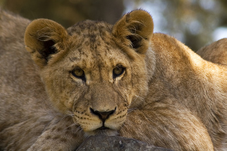 lion cub: Close up lion cub Stock Photo