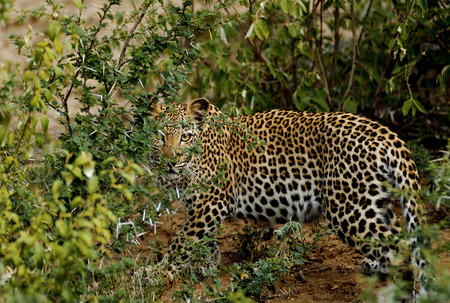 safari game drive: Leopard watching us from behind the bushes