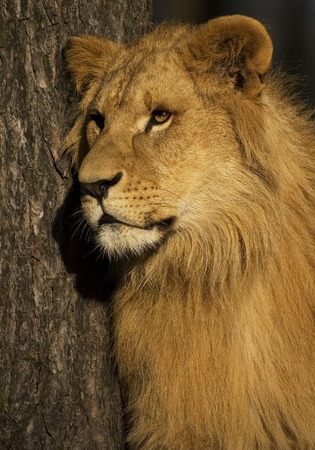 safari game drive: Close up young male lion