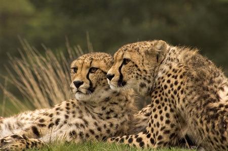 safari game drive: Two brothers lying togeter