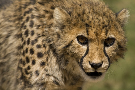 cheetah cub: Young cheetah