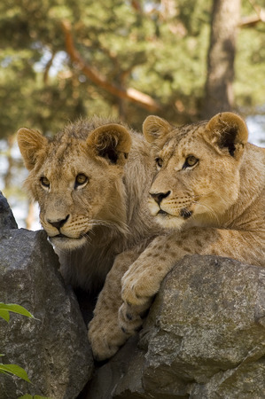 lions rock: young lions on a rock Stock Photo